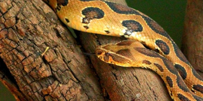 11 Species Of Indian Snakes That Are Insanely Poisonous